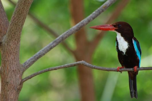 whitethroated kingfisher
